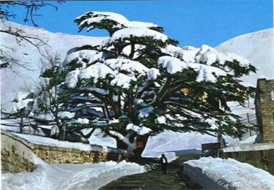 Cedars of Lebanon أرز لبنان
